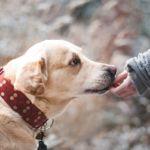 老犬の歩行を介助する手作りハーネスの作り方。市販とどっちが良い?