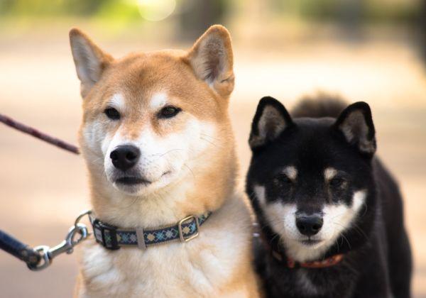 約10kgの柴犬のハーネス。年齢や性格に合った選び方で楽しいお散歩タイムを