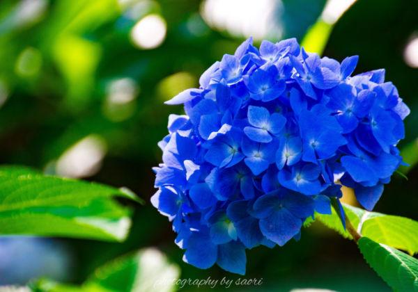京都の紫陽花寺〜宇治 三室戸寺