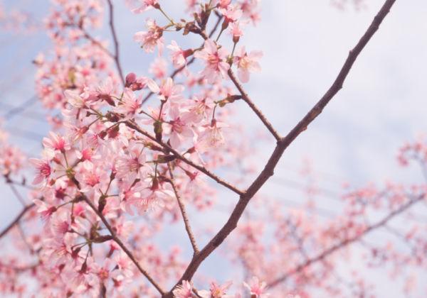 「お花見」と英語で言いたい時に使えるフレーズは?