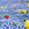 大阪の生まれ変わった新名所!100万株の青い花畑〜大阪まいしまシーサイドパークのネモフィラ祭り